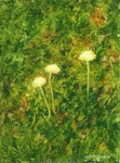 image of oil painting Dandelions #6 by Laurie Ladmore